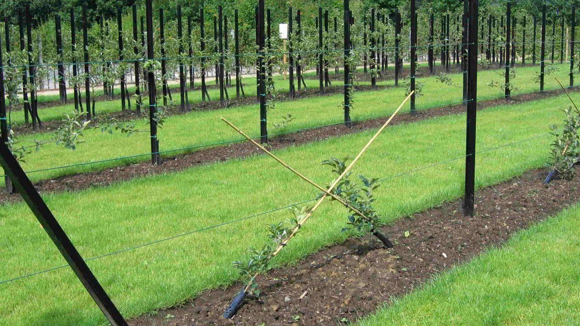 Quid de l'élagage des arbres fruitiers?